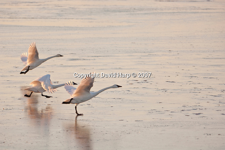 tundra swans take flight from an icy arm of the Blackwater River at the Blackwater National Wildlife Refuge near Cambridge, MD