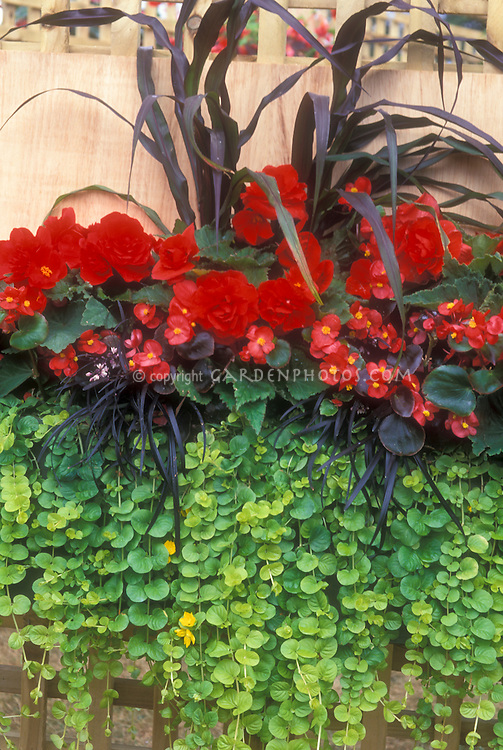 Windowbox of Red begonia (two types) with Millet annual Pennisetum Purple Majesty, black leaved Ophiopogon and Lysimachia nummularia 'Aurea' in summer for a red and black and green flowers palette