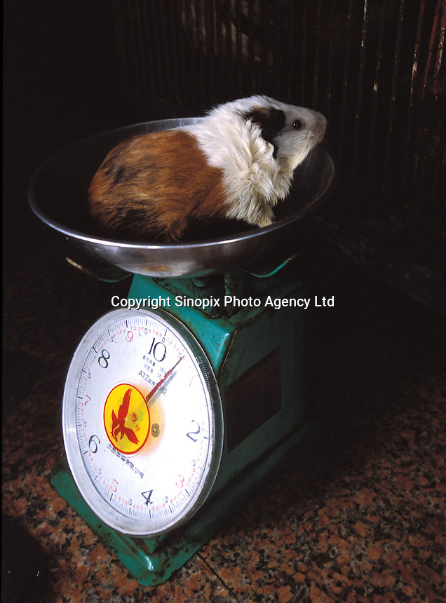 A guinea pig is weighed at a restaurant specializing in exotic meats. Guinea pigs are sold as popular food in Morning Dew Meat Special Restaurant that is used in hot pot and a medicinal broth that is believed to be good for health and to keep the hair from going grey...PHOTO BY SINOPIX.