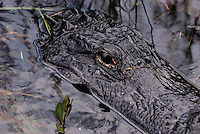 Mr Al E. Gator - beside the loop road in Shark Valley, The Everglades, Florida, USA
