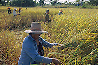 THAILAND, Ubon Ratchathani, fair trade and organic farmer project, PFA Progressive Farmer Association, women harvest organic Jasmine fragrant rice / THAILAND, fairtrade und Bio Projekt, PFA Progressive Farmer Association, Frauen ernten Jasmin Duftreis