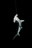 Live Scalloped Hammerhead Shark, Sphyma lewini, hooked on a long line. Cocos Island, Costa Rica - Pacific Ocean