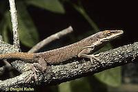 1R06-017z  Green Anole - camouflaged - Anolis carolinensis.