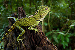 Bornean Angle-headed Lizard (Gonocephalus bornensis). Danum Valley, Sabah, Borneo.