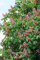 Rotblühende Rosskastanie, Fleischrote Rosskastanie, Purpurkastanie, Rote Rosskastanie, Rotblühende Kastanie, Fleischrote Kastanie,  Rote Kastanie, Aesculus × carnea, Aesculus carnea, Aesculus rubicunda, red horse-chestnut, Le marronnier à fleurs rouge, le marronnier rose