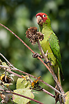 San Diego, California; a red-masked conure parrot perched on a dying sunflower stalk  in early morning sunlight