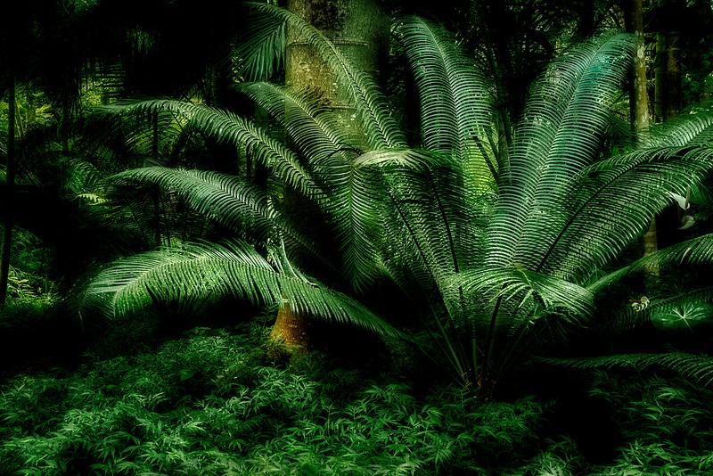 Cycad fern.. Princeville Botanical Gardens. Kauai, Hawaii
