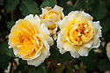 Rosa Molineux ('Ausmol'), early June. A shrub rose bred by David Austin, 1994. The flowers come in clusters and are golden-yellow with apricot markings, fading to lemon-yellow.