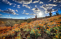 Peridot Poppies, Arizona