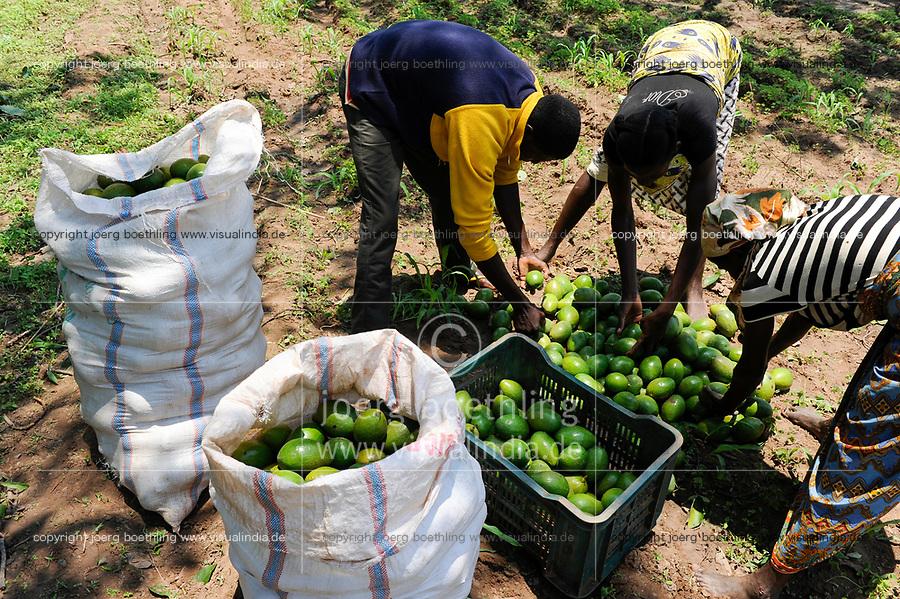 ANGOLA Kwanza Sul, village Cassombo, Avocado harvest