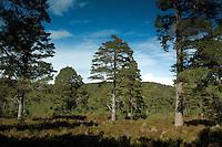 Scots Pine in Glen Tanar, Aboyne, Aberdeenshire