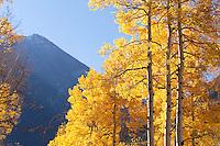 Morning aspen with mountainside, near Crystal, Colorado