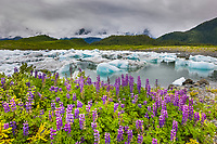 Columbia Glacier icebergs, Lupine wildflowers, northern Prince William Sound, southcentral, Alaska.