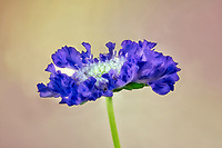 Close up of Scablosa caucasica 'Fama Blue' Pincushion Flower. Oregon