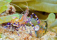 sharpnose puffer, Canthigaster rostrata, being cleaned by spotted cleaner shrimp, Periclimenes yucatanicus, Bonaire, ABC Islands, Netherlands Anitilles, Caribbean Sea, Atlantic Ocean