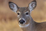 Close up of a white-tailed fawn in December.