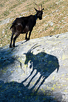 A goat stands in the Swiss Alps with another's shadow in the foreground.