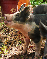 An inquisitive pig waiting to be fed