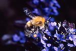 Bumblebee, Bombus pascuorum