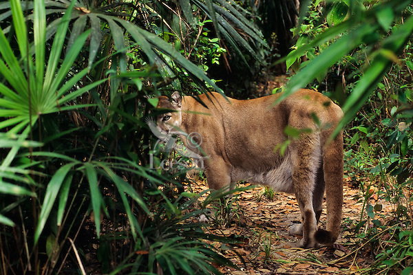 Mountain Lion or cougar (Felis concolor) in Central America.