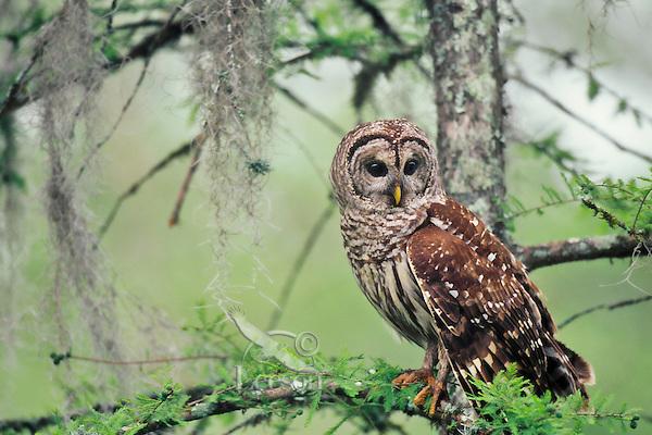 Barred Owl (Strix varia) in cypress swamp.  Southern U.S., spring.