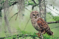 Barred Owl (Strix varia) in cypress swamp.  Southern U.S., spring.