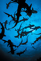 silhouette of school of whitetip reef sharks, Triaenodon obesus, following scent trail in water column, Cocos Island, Costa Rica - Pacific Ocean