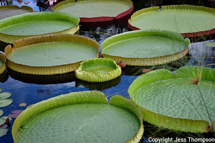 Water Lily Pads, San Angelo, Texas