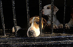 Foxhounds at hunt kennels Hampshire England UK 2000s