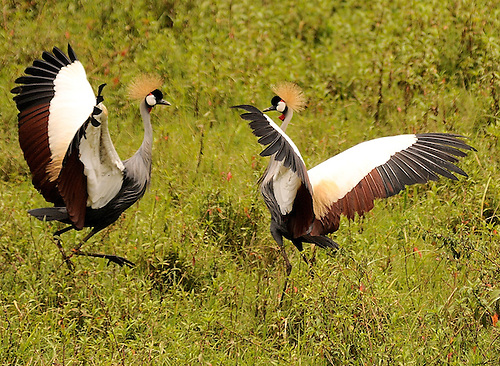 The Crested Crane,  the official bird of Uganda, one of over 300 exotic birds found in Uganda's Bwindi Impenetrable Forest, a UNESCO World Heritage Site...Crested Cranes mate for life, love to dance playfully, and emobdy the three colors of Uganda's flag.