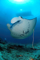 Manta Rays, manta alfredi, come into Palau's Devilfish City in the north of the archipalgo to clean and feed on a regular basis.