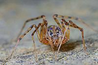 Speispinne, Spei-Spinne, Scytodes thoracica, spitting spider, Speispinnen, Scytodidae