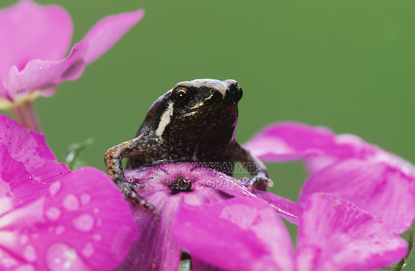 Great Plains Narrowmouth Toad, Gastrophryne olivacea, adult on pointed phlox, Willacy County, Rio Grande Valley, Texas, USA