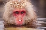 Jigokudani National Monkey Park, Nagano, Japan<br /> Japanese Snow Monkey (Macaca fuscata) at Jigokudani monkey park in the Yokoyu River valley