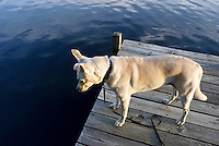 White mixed breed dog looks intently into the deep cool waters of Martins poind awaiting a sign or a fish, Vermont USA