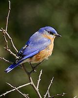Eastern Bluebird image from a ranch near Burnet, TX