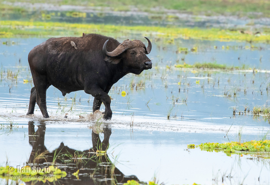 A Cape Buffalo, Syncerus caffer caffer, walks through a marsh in Lake Manyara National Park, Tanzania. Perched on its back are three Red-billed Oxpeckers, Buphagus erythrorhynchus.