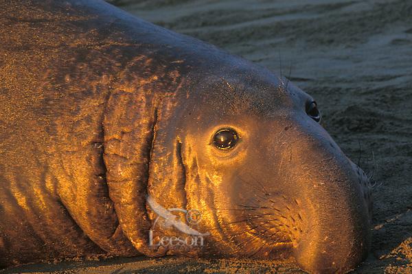 Male northern elephant seal (Mirounga anustirostris).