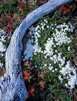 Phlox and Indian Paintbrush with weathered log. Olympic National Park, Washington.