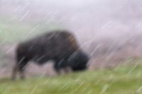 A bison in a snowstorm near Mud Volcano.