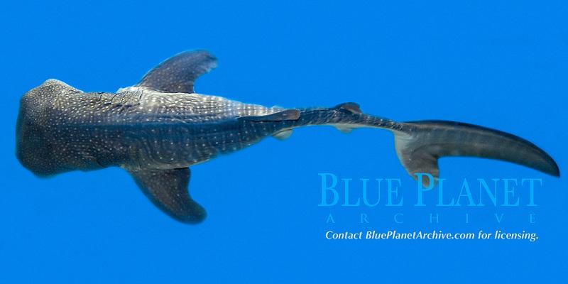 whale shark pup specimen, Rhincodon typus, showing neonatal folds