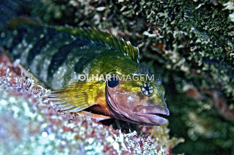 Peixe Maria da toca ( Ophioblennius atlanticus) em Arraial do Cabo. RJ. Foto de Ricardo Azoury.