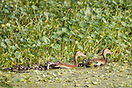 Damon, Texas; a mating pair of black-bellied whistling ducks leadng their clutch of 8 newborn ducklings along the edge of the water plants and green algae on the surface of the slough in late afternoon sunlight