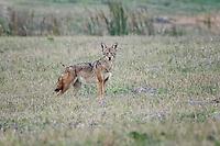 Coyote, Rockport, Texas