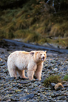spirit bear, kermode, black bear, Ursus americanus, mother walking on a stream bed in the rainforest of the central British Columbia coast, Canada