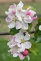 Blossom of Apple 'Colonel Vaughan' (syn. 'Kentish Pippin'), early May. Very old English dessert apple, possibly dating back to the late 1600s. Widely grown in the 18th and early 19th centuries.