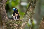 Helmet Vanga (Euryceros prevostii) at nest feeding chicks. Masoala NP, north east Madagascar.