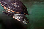 plymouth red-bellied cooter underwater, close-up