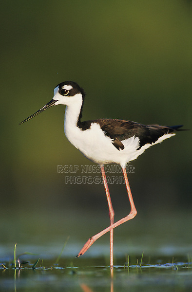 Black-necked Stilt, Himantopus mexicanus,adult, Lake Corpus Christi, Texas, USA