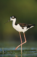 Black-necked Stilt, Himantopus mexicanus,adult, Lake Corpus Christi, Texas, USA